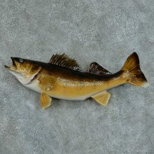 Walleye Pike Taxidermy Fish Mount #13410 For Sale @ The Taxidermy Store