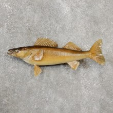 Walleye Taxidermy Fish Mount #19102 For Sale @ The Taxidermy Store