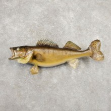 Walleye Taxidermy Fish Mount #20347 For Sale @ The Taxidermy Store