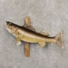 Walleye Taxidermy Fish Mount #20351 For Sale @ The Taxidermy Store