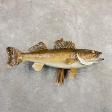 Walleye Taxidermy Fish Mount For Sale