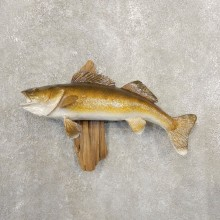 Walleye Taxidermy Fish Mount #20846 For Sale @ The Taxidermy Store