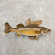 Walleye Taxidermy Fish Mount #20849 For Sale @ The Taxidermy Store