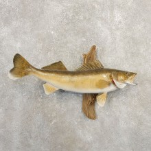 Walleye Taxidermy Fish Mount #20862 For Sale @ The Taxidermy Store