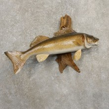 Walleye Taxidermy Fish Mount #20868 For Sale @ The Taxidermy Store