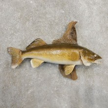 Walleye Taxidermy Fish Mount #20875 For Sale @ The Taxidermy Store