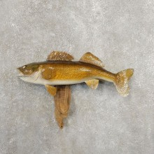 Walleye Taxidermy Fish Mount #20876 For Sale @ The Taxidermy Store