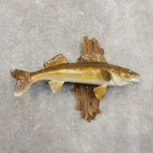 Walleye Taxidermy Fish Mount #20877 For Sale @ The Taxidermy Store