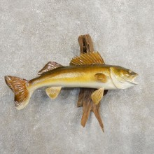 Walleye Taxidermy Fish Mount #20878 For Sale @ The Taxidermy Store