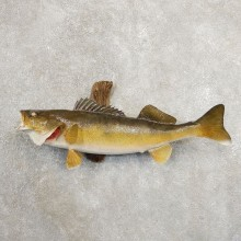 Walleye Taxidermy Fish Mount #20880 For Sale @ The Taxidermy Store