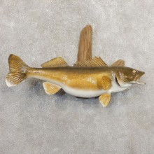 Walleye Taxidermy Fish Mount #20883 For Sale @ The Taxidermy Store