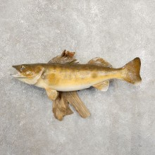 Walleye Taxidermy Fish Mount #20888 For Sale @ The Taxidermy Store
