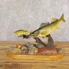 Walleye Taxidermy Fish Mount #22224 For Sale @ The Taxidermy Store
