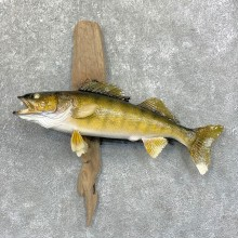 Walleye Taxidermy Fish Mount #23641 For Sale @ The Taxidermy Store