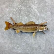 "28.5"" Walleye Taxidermy Fish Mount For Sale"