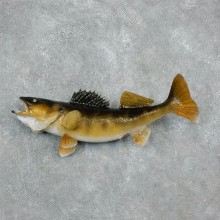 Walleye Freshwater Fish Mount For Sale #17949 @ The Taxidermy Store