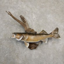 Walleye Taxidermy Mount For Sale #20670 @ The Taxidermy Store