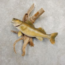 Walleye Taxidermy Mount For Sale #20879 @ The Taxidermy Store