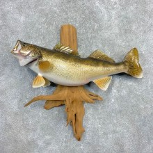 Walleye Taxidermy Mount For Sale #21994 @ The Taxidermy Store