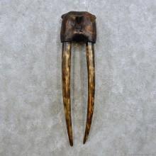 Walrus Skull Tusk Replica Mount For Sale #14296 @ The Taxidermy Store