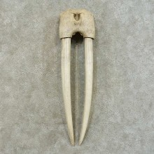Walrus Replica Skull & Tusks Mount For Sale #16383 @ The Taxidermy Store
