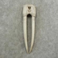 Walrus Replica Skull European Mount For Sale #16779 @ The Taxidermy Store