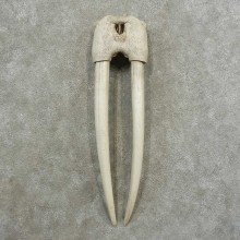 Walrus Skull European Mount For Sale #16780 @ The Taxidermy Store