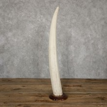 Walrus Tusk Replica Mount For Sale #18895 @ The Taxidermy Store