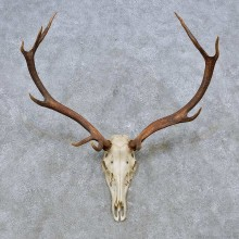 Wapiti Elk Skull European Mount For Sale #14545 @ The Taxidermy Store