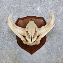 Warthog Skull & Tusk Mount For Sale #14449 @ The Taxidermy Store