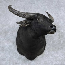 Water Buffalo Shoulder Mount For Sale #13883 For Sale @ The Taxidermy Store