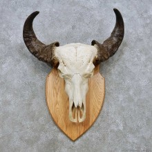 Water Buffalo Skull European Mount For Sale #14530 @ The Taxidermy Store