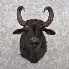 South American Water Buffalo Shoulder Taxidermy Mount For Sale