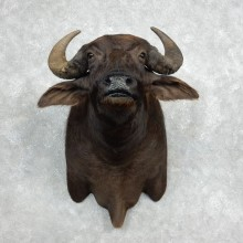 Water Buffalo Shoulder Mount For Sale #17978 For Sale @ The Taxidermy Store