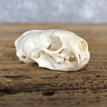 Weasel Full Skull Taxidermy Mount For Sale #19829 @ The Taxidermy Store