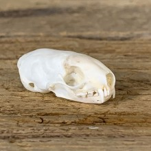 Weasel Full Skull Taxidermy Mount For Sale #22263 @ The Taxidermy Store