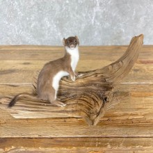 Weasel Life-Size Taxidermy Mount For Sale