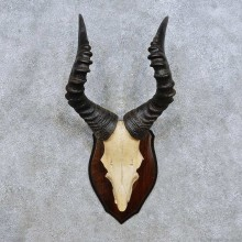 Hartebeest Skull Cap & Antler Mount For Sale #14448 @ The Taxidermy Store