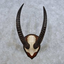 Western Roan Horn Plaque Mount For Sale #14458 @ The Taxidermy Store