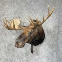 Western Canadian Moose Taxidermy Shoulder Mount For Sale