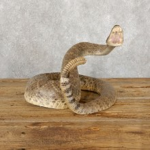 Western Diamondback Rattlesnake Mount For Sale #18891 @ The Taxidermy Store