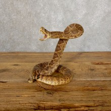 Western Diamondback Rattlesnake Mount For Sale #18892 @ The Taxidermy Store