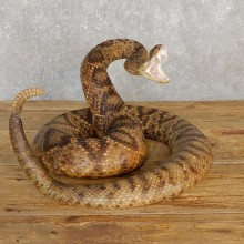 Western Diamondback Rattlesnake Mount For Sale #19978 @ The Taxidermy Store