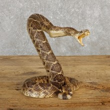 Western Diamondback Rattlesnake Mount For Sale #19980 @ The Taxidermy Store