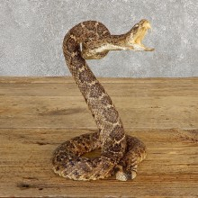 Western Diamondback Rattlesnake Mount For Sale #19982 @ The Taxidermy Store