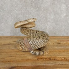 Western Diamondback Rattlesnake Mount For Sale #20236 @ The Taxidermy Store