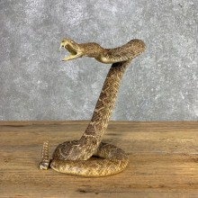 Western Diamondback Rattlesnake Mount For Sale #21251 @ The Taxidermy Store