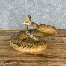 Western Diamondback Rattlesnake Mount For Sale #23307 @ The Taxidermy Store