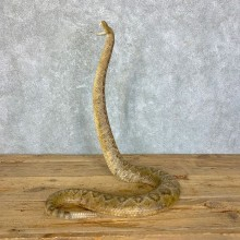 Western Diamondback Rattlesnake Taxidermy Mount For Sale