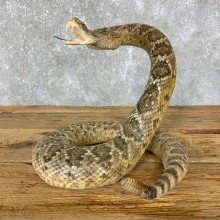 Western Diamondback Rattlesnake Mount For Sale #23711 @ The Taxidermy Store